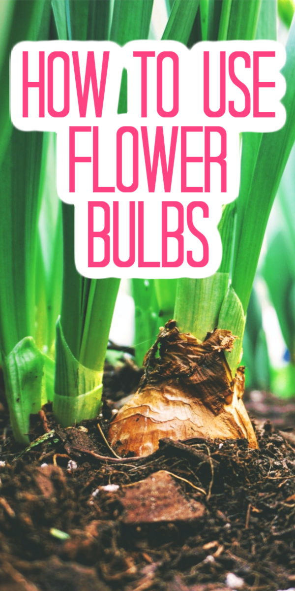 Want to add a flower bulb or two to your garden and don't know where to start? Let our guide help! #flowerbulbs #flowers #flowerbed #garden #gardening