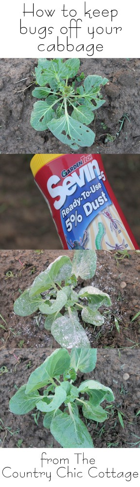 before and after graphic showing the effectiveness of Sevin dust to get rid of cabbage bugs