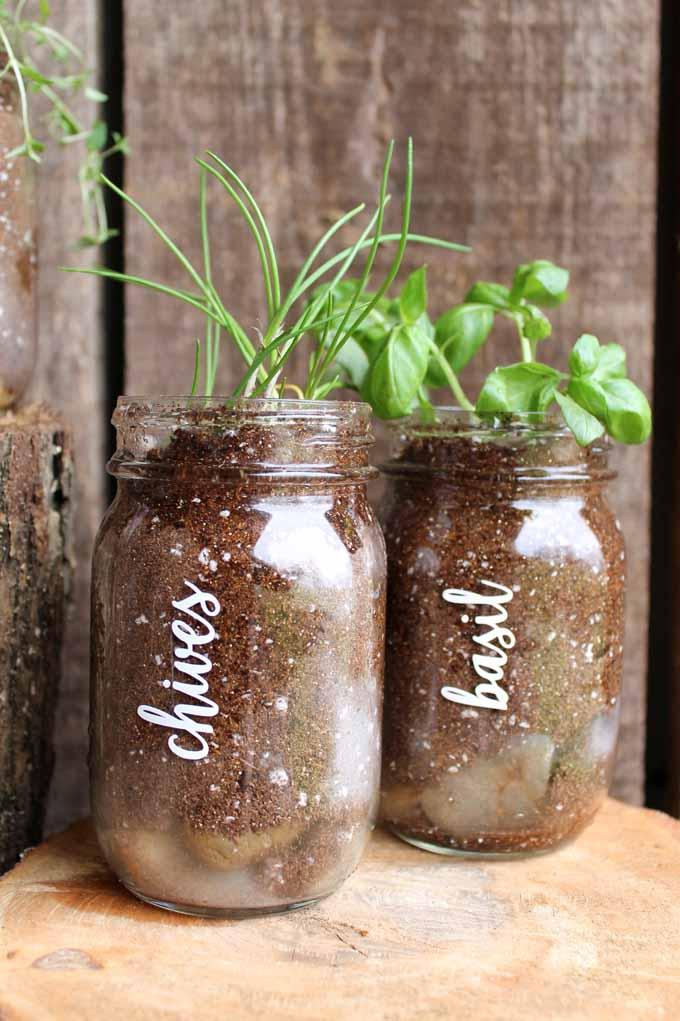 chives and basil in pint mason jars